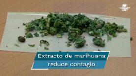 Según estudio la marihuana reduce el riesgo de contagio por Covid-19