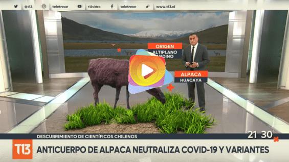 Los anticuerpo de alpaca neutraliza COVID-19 y variantes